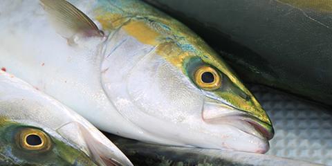 対象魚:青物・ヒラメ