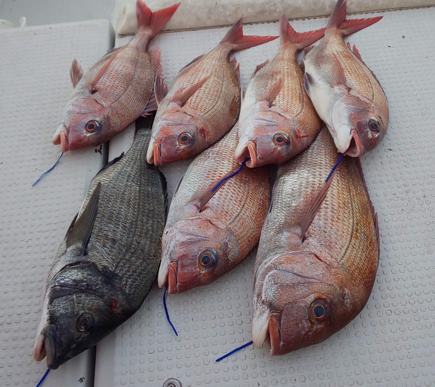 真鯛10枚  チヌ一枚
